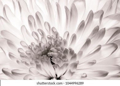 Chrysanthemum in full bloom. Close up macro of flower petals in black and white. Abstract texture perfect fine art image.