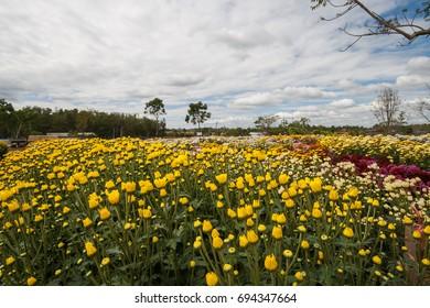 Chrysanthemum garden at Wang Nam Khaoi, Nakhon Ratchasima