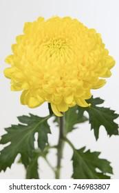 Chrysanthemum Indicum Grp disbud Astroid
