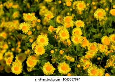 Chrysanthemum indicum Linn flowers. Or Chrysanthemum morifolium Ramat flowers in plantation