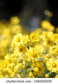 Chrysanthemum indicum Linn flowers, yellow chrysanthemum indicum field,selection focus only some point on image