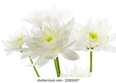 Chrysanthemum isolated over white background