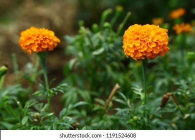 Chrysanthemum or jamanthi flower blossom  in the farm,