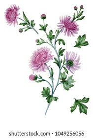 Chrysanthemum with leaves. Watercolor painting for design of invitations, web pages, wedding invitations, textile and other objects. Isolated on white.