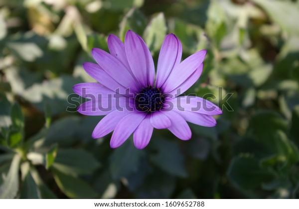 chrysanthemum-looking-me-eye-600w-160965