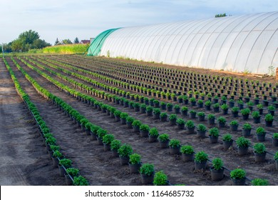 Chrysanthemum, mums or chrysanths plants on the field with irrigation network.Chrysanthemums were first cultivated in China as a flowering herb as far back as the 15th century BC