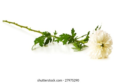 Chrysanthemum (mums) isolated on the white background