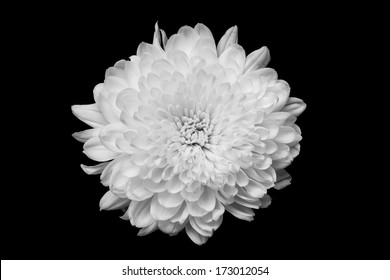 Chrysanthemum on black background, black and white color.