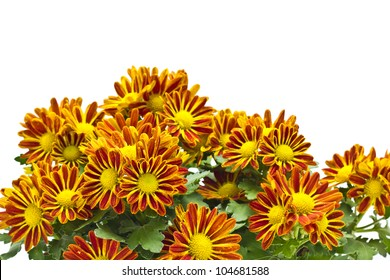 Chrysanthemum on white background