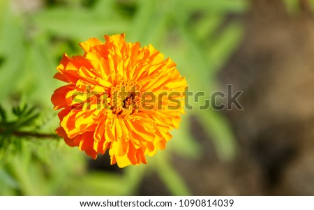Chrysanthemum orange flower jamanthi flower flower stock photo edit chrysanthemum orange flower or jamanthi flower is a flower from species of perennial flowering plants in mightylinksfo