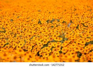 chrysanthemum orange and yellow