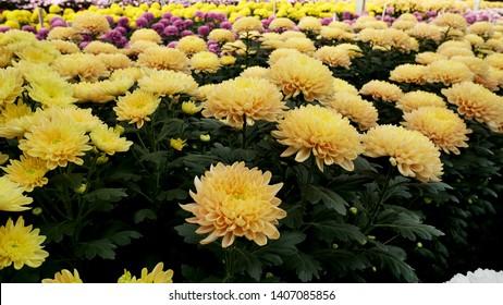 Chrysanthemum pattern in flowers park. Cluster of orange chrysanthemum flowers. Beautiful chrysanthemum as background picture. Chrysanthemum wallpaper, chrysanthemums in autumn.