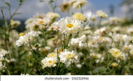 Chrysanthemum pattern in flowers park. Cluster of White chrysanthemum flowers. Beautiful chrysanthemum as background picture. Chrysanthemum wallpaper, chrysanthemums in autumn.
