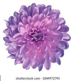 Chrysanthemum   pink-violet. Flower on  isolated  white ba  ckground with clipping path without shadows. Close-up. For design. Nature.