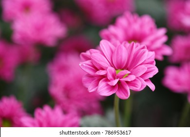 Chrysanthemum Prius Splendid flower
