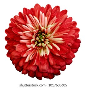 Chrysanthemum  red  flower. On white isolated background with clipping path.  Closeup no shadows. Garden  flower.  Nature.