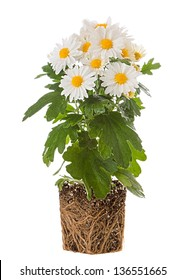Chrysanthemum with roots