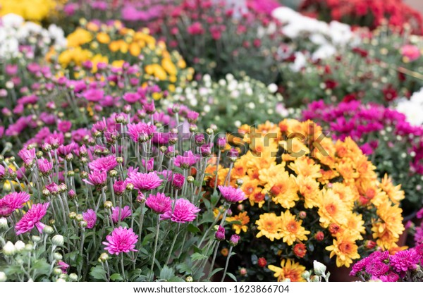 Chrysanthemum small bush autumn bloom. Riot of colors spray chrysanthemum in the market, floral background