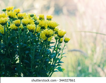 Chrysanthemum soft colorful blur background.