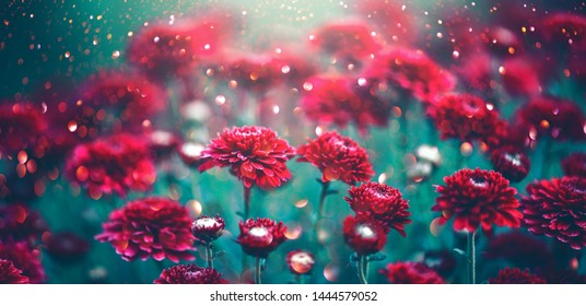 Chrysanthemum violet flowers blooming in a garden. Beauty autumn flowers art design. Bright vivid colors. Nature background. Autumn Backdrop, fall - Shutterstock ID 1444579052