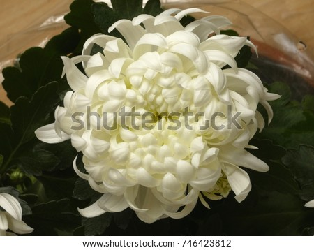 Chrysanthemum white flower chrysanths mums on stock photo edit now chrysanthemum white flower chrysanths mums on all souls day mightylinksfo