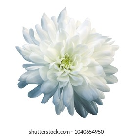 Chrysanthemum white-blue. Flower on  isolated  white background with clipping path without shadows. Close-up. For design. Nature.