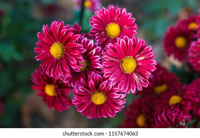 chrysanthemums in autumn