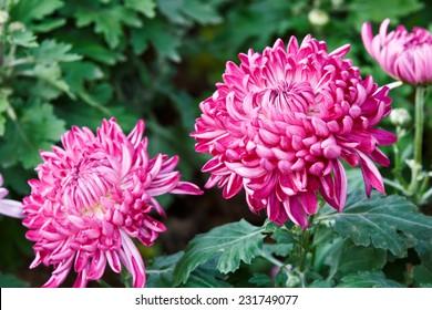 Chrysanthemums bloom in the garden