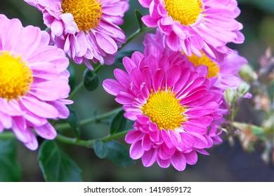 Chrysanthemums in botanical garden. Purple flowers chrysanthemums in autumn, magenta annuals. Picturesque pink flowers chrysanthemum, close up.