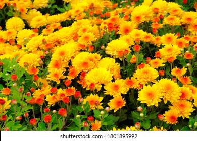 Chrysanthemums in botanical park, greenery in city. Orange flowers chrysanthemums in autumn. Blooming nature background.