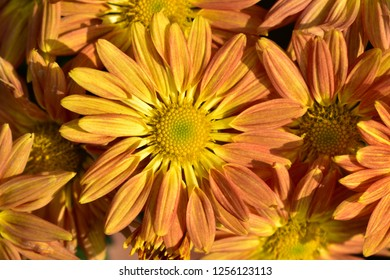 Chrysanthemums flower pictures from bhopal india