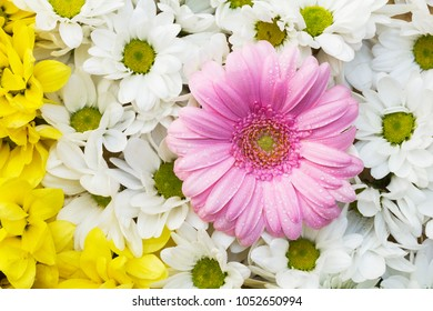Chrysanthemums and gerbera - colorful flowers arranged as a natural background image with white, yellow and pink blossoms - beautiful close up photography in soft colors