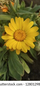 chrysanthemums of my garden