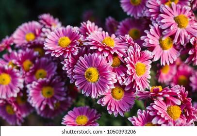 Chrysanthemums in the Nikitsky Botanical Garden, Crimea. flowers chrysanthemum, chrysanthemums in autumn, chrysanthemums annuals.