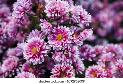 Chrysanthemums in the Nikitsky Botanical Garden, Crimea. flowers chrysanthemum, chrysanthemums in autumn
