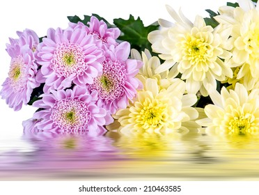 chrysanthemums on a white background