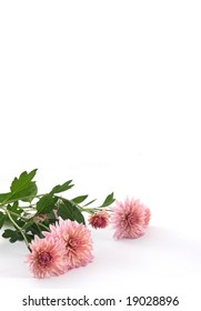 Chrysanthemums of pink color on a white background.