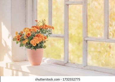chrysanthemums  in pots on old white  windowsill