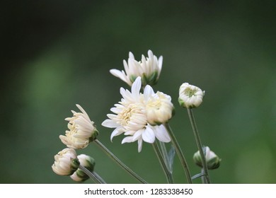 Chrysanthemums  sometimes called mums or chrysanths or sevanthi or Samadhi flowers, of the genus Chrysanthemum in the family Asteraceae. They are native to Asia and northeastern Europe