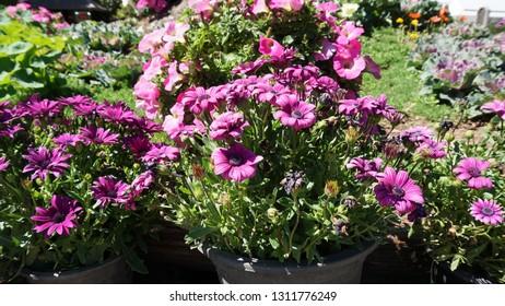 Chrysanthemums sometimes called mums or chrysanths, are flowering plants of the genus Chrysanthemum in the family Asteraceae