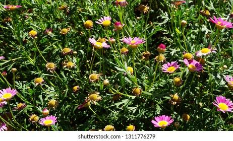 Chrysanthemums sometimes called mums or chrysanths, are flowering plants of the genus Chrysanthemum in the family Asteraceae.