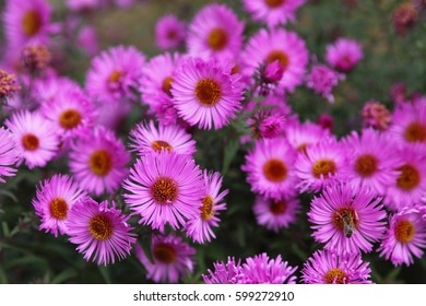 Chrysanthemums at sunny day
