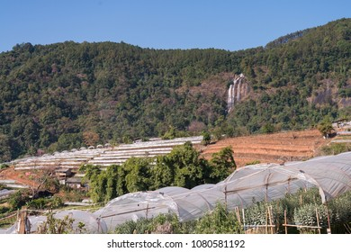 The chrysanthemums or tansy flower farm with the Siripoom Waterfall in the background, Choomthong, Chiangmai Thailand.