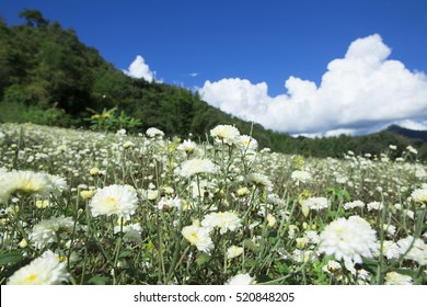 Chrysanthemum,Thailand,breezy,relax,good weather, Flowers surrounded by green mountains.