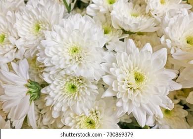 Chrysanths (Mum Flowers) White. Many white yellow flowers arranged in the sunshine.