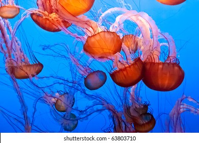 Chrysaora fuscescens is a common free-floating scyphozoa that lives in the Pacific Ocean, and is commonly known as the Pacific Sea Nettle or West Coast Sea Nettle.