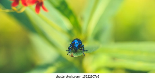 Chrysochus cobaltinus, the cobalt milkweed beetle or blue milkweed beetle, is a member of the diverse family leaf beetles. Sitting on a leaf's edge