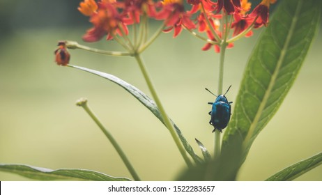 Chrysochus cobaltinus, the cobalt milkweed beetle or blue milkweed beetle, is a member of the diverse family leaf beetles. crawling up the stem of a flower