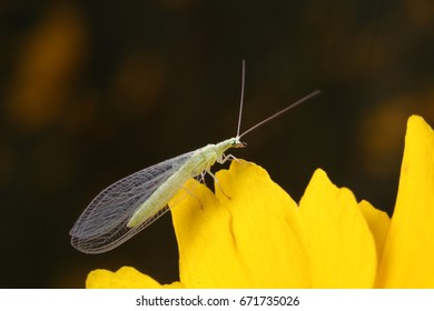 chrysopa pallens