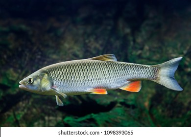 Chub - Squalius cephalus - close up in detail